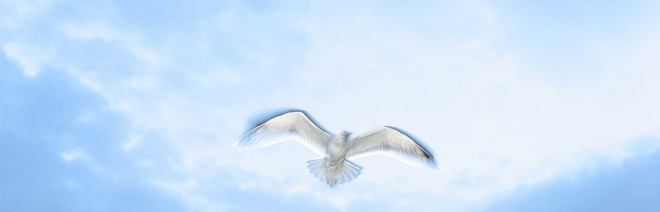 immagine colomba bianca